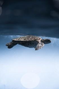 可愛海洋生物海龜圖片壁紙