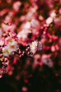 春日唯美小花图片壁纸