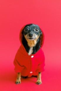 打扮好的可爱的狗狗桌面壁纸