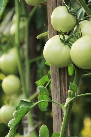 卖萌的小番茄图片壁纸
