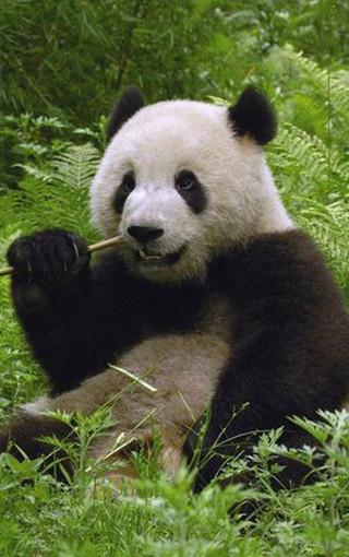 壁纸动物熊猫_可爱熊猫手机壁纸第49页-ZOL手机壁纸