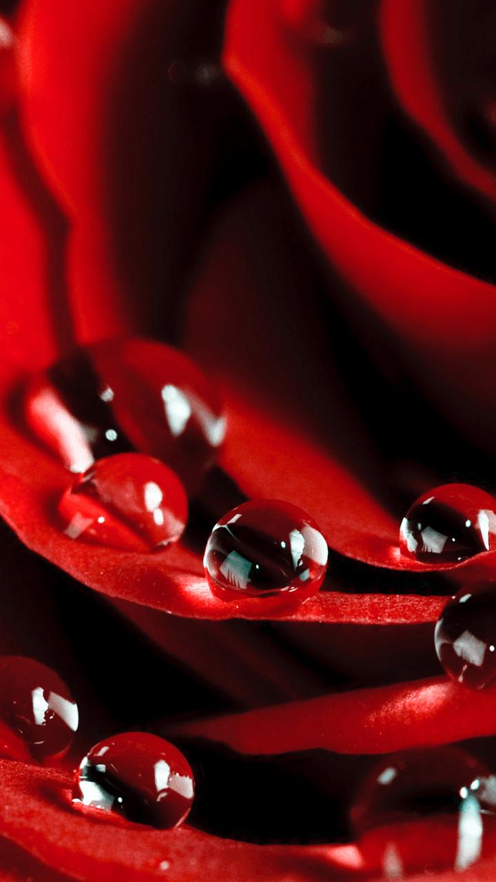 红色玫瑰壁纸图片