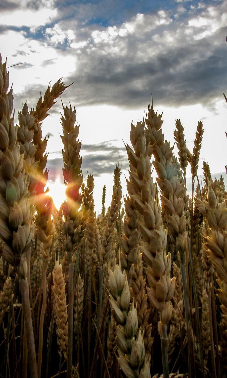 丰收的麦子麦穗图片壁纸
